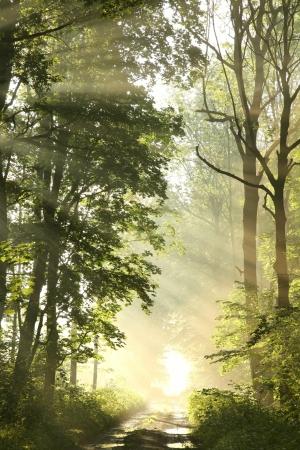 Pad door de mistige lente bos omgeven door weelderige groene esdoorn bladeren Stockfoto