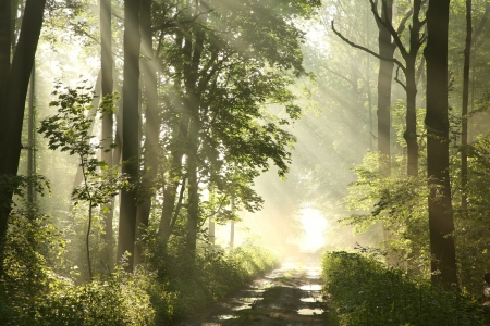 new path: Foggy spring morning in the leafy woods lit by the rays of the sun Stock Photo