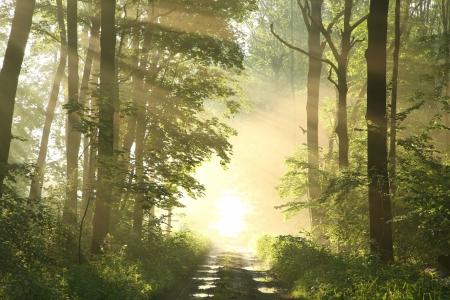 pfad: Weg durch den nebligen Fr�hjahr Wald von gr�nen Ahornbl�ttern umgeben