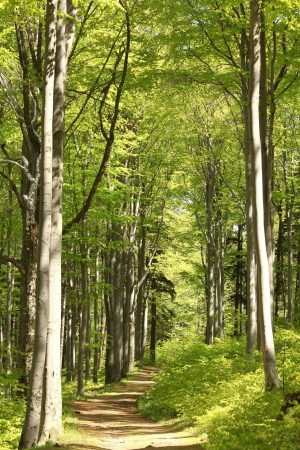 sprinftime: Forest trail among the beech trees on a sunny May morning