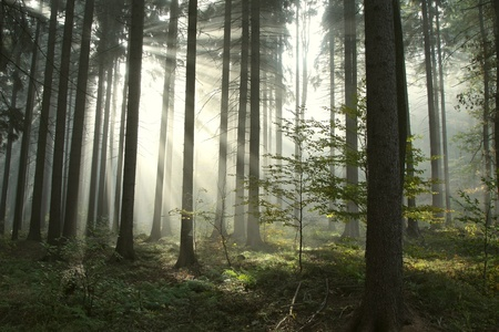 Sunbeams entering coniferous forest on a misty autumnal morning Stock Photo - 15205494