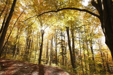 Autumn beech forest on a sunny day photo