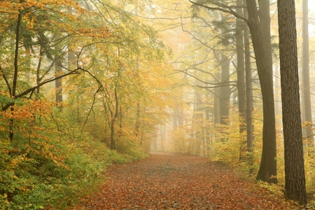 deciduous woodland: Forest path on a misty autumn morning