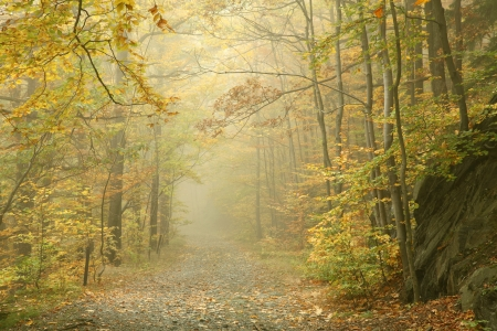 autumn path: Autumn beech forest in the fog Stock Photo