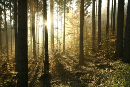 conifer: Coniferous forest on a misty autumn morning