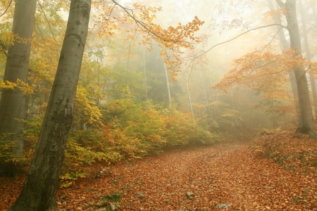 sprinftime: Forest path on a misty autumn morning