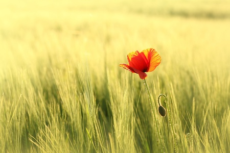 Lonely poppy in a field at dusk photo
