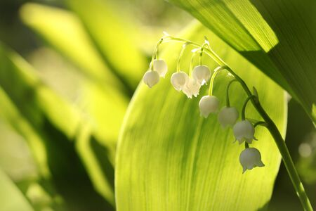 Lily of the valley in the forest photo