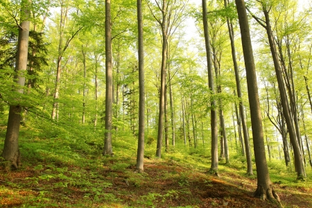 alder: Spring beech forest in the May morning Stock Photo