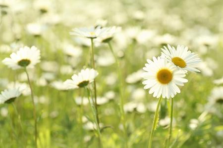 daisy stem: Daisy in a meadow rich in flowers at dawn