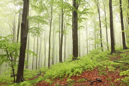 sprinftime: Spring beech forest in the rain surrounded by mountain mist