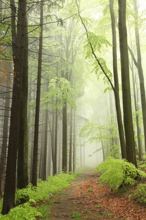 sprinftime: Path between coniferous and deciduous trees surrounded by fog