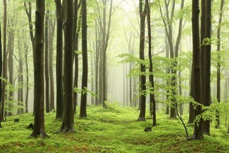 Voorjaar beukenbos in de bergen van de zuidelijke Poolse Stockfoto