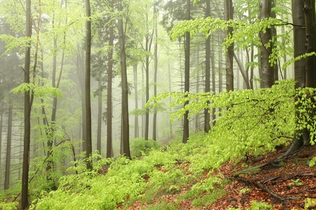 sprinftime: Mixed forest on the mountain slope on a rainy day in early May Stock Photo