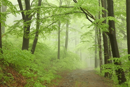 new path: Foggy, rainy morning in spring beech forest in the southern Polish Stock Photo