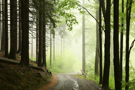 sprinftime: Path on a foggy morning in spring forest after rainfall Stock Photo