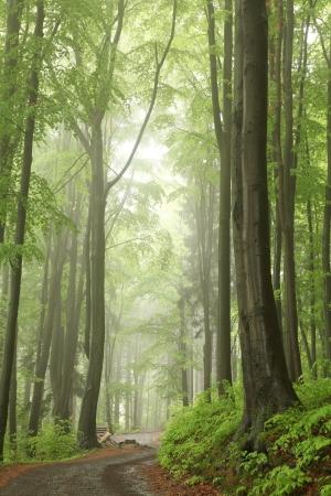 안개 낀 봄 숲의 너도밤 나무 사이 트레일