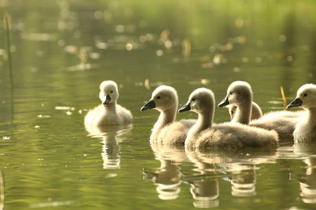 swimming swan: Young swans in a forest pond at dusk