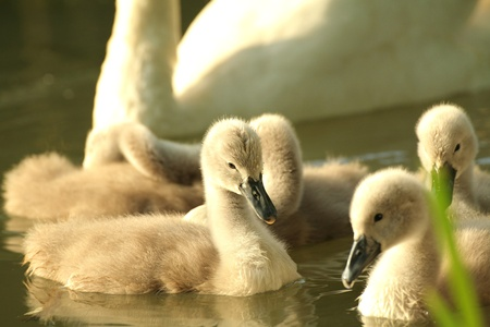cygnet: Cygnets in a forest pond at dusk