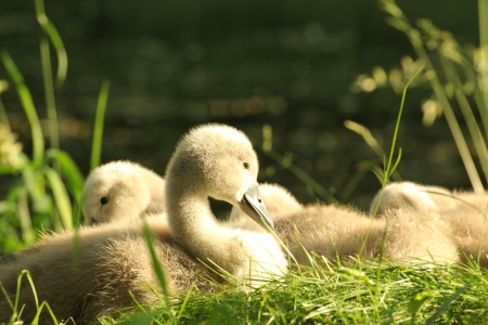 Cygnet resting on the grass in the morning photo