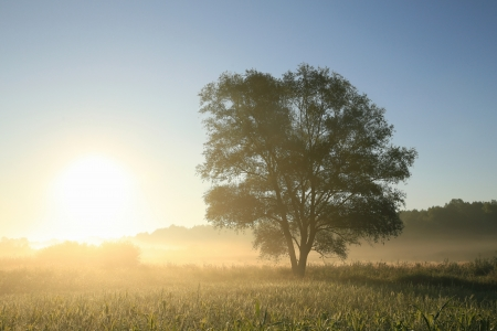 Willow tree on a meadow at dawn  Poland Stock Photo