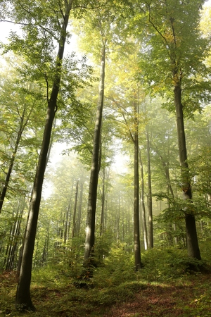 Early autumn beech forest photo
