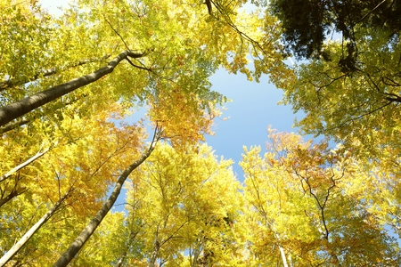 tree canopy: Tree canopy in autumn forest Stock Photo