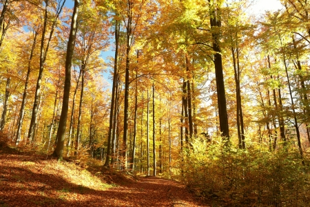 alder: Autumn forest with most of alders in the sunshine Stock Photo