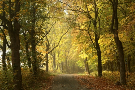 autumn path: Country road through the autumnal forest in the morning