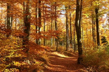 alder: Beech forest in red and orange colors of the autumn season