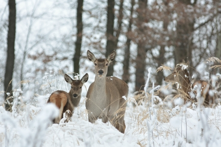 Roe deer standing in a snowdrift on the edge of the forest photo