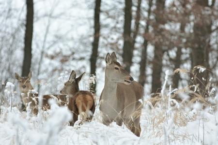 roe: Roe deer with his offspring in winter scenery