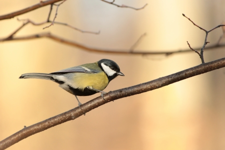 Great tit - Parus major - in the morning photo