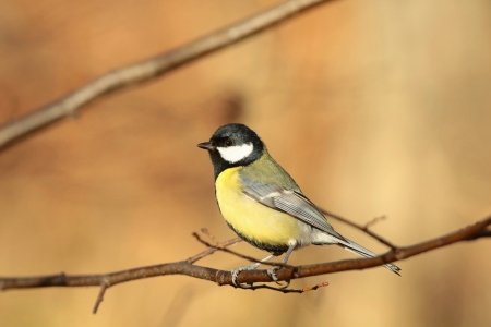 bird feeder: Great tit - Parus major - in the morning Stock Photo