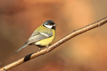 parus major: Great tit - Parus major - in the morning Stock Photo