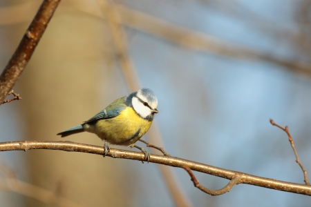 Blue tit - Parus caeruleus - on a branch in the sunshine photo
