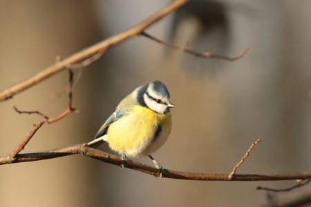 Portrait of Blue tit - Parus caeruleus - in the autumn forest photo