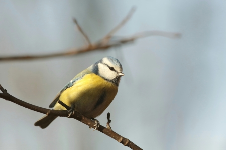 Blue tit - Parus caeruleus - sitting on the branch in the sunshine photo