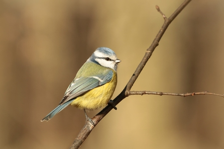 Blue tit - Parus caeruleus - on a twig in the autumn forest photo