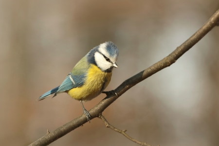 Blue tit - Parus caeruleus - looks down while standing on a twig photo