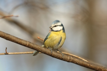 Blue tit - Parus caeruleus - against the bare branches of the autumn forest photo
