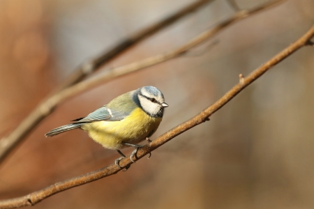 Blue tit - Parus caeruleus - staring at the other birds photo