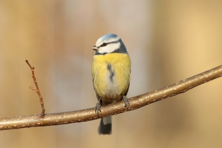 Blue tit - Parus caeruleus - sitting on a twig at dawn photo