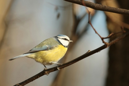 Blue tit - Parus caeruleus - walking along a branch photo