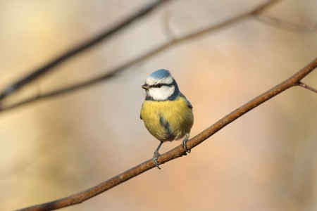 Staring Blue tit - Parus caeruleus - standing on a twig in a December morning photo