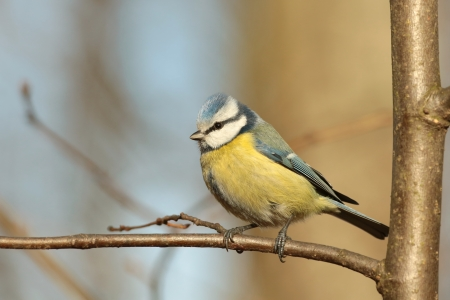 Closeup of Blue tit - Parus caeruleus - in the autumn forest photo