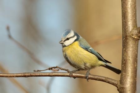 caeruleus: Closeup of Blue tit - Parus caeruleus - in the autumn forest