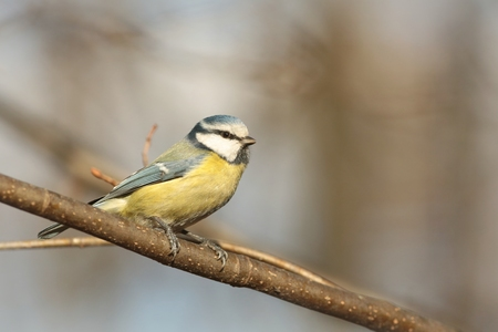 Blue tit - Parus caeruleus - on a branch in autumn forest photo