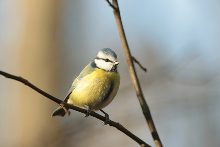 Blue tit - Parus caeruleus - on a branch in the forest photo