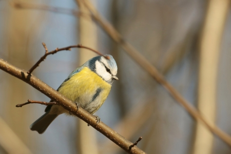 Blue tit - Parus caeruleus - on a twig at dawn photo